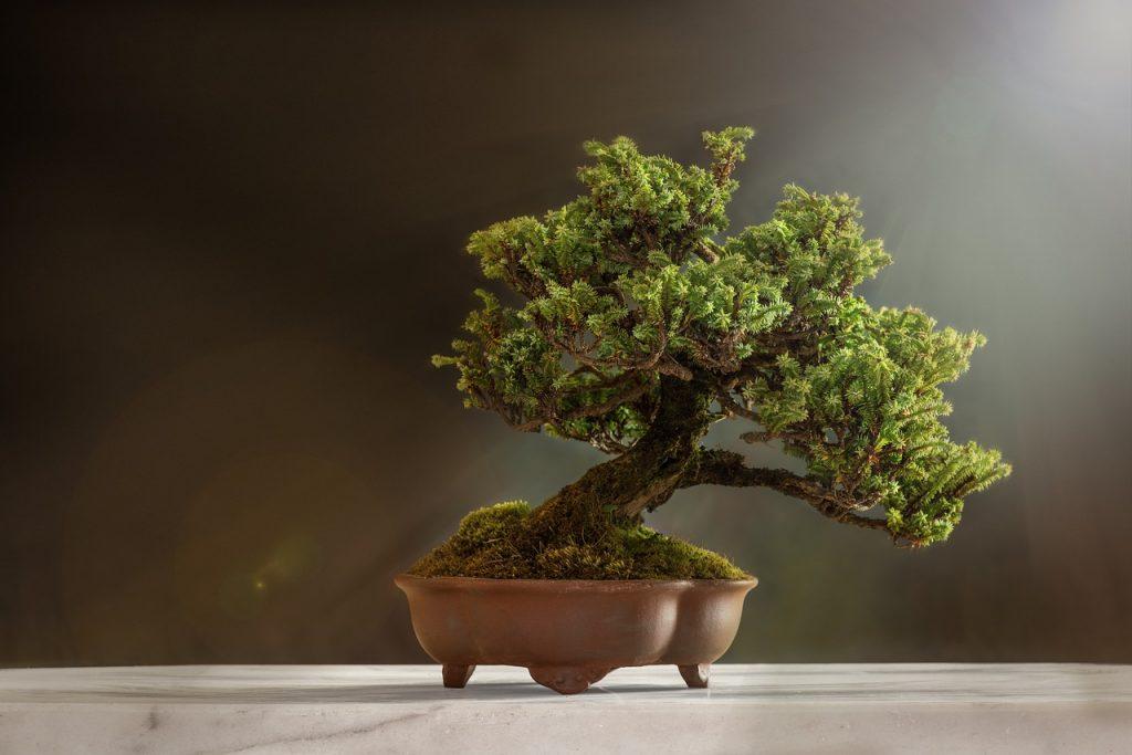 jak hodować bonsai